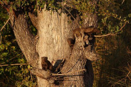 mongoose: Dwarf Mongoose, Sabi Sands, South Africa Stock Photo