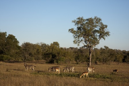 impala in sabi sands, south africa photo
