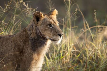 sabi: lions in sabi sands game reserve, south africa