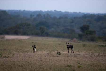 sabi: Wild dogs in Sabi Sands Game Reserve, South Africa