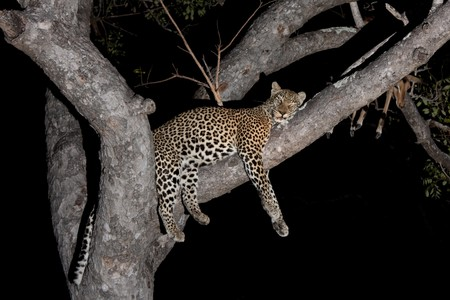 Leopard in Sabi Sands Game Reserve, South Africa photo
