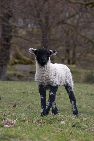 faced: Black faced spring lamb