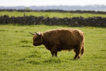 coo: Highland cows, Aberdeen, Scotland
