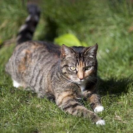 moggy: British Shorthair Tabby Cat