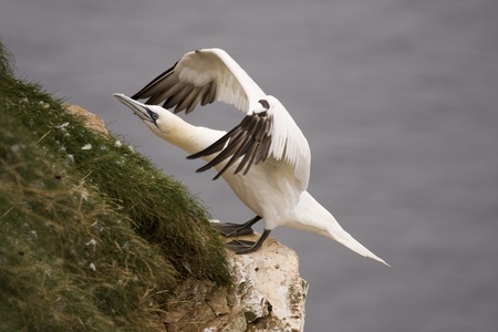 Northern Gannet at Troup Head RSPB, Scotland Stock Photo