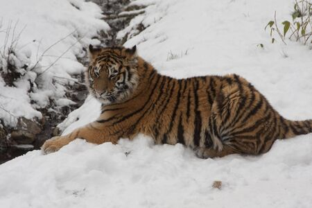 Siberian Tiger in the snow Stock Photo