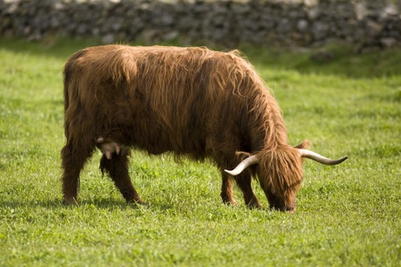 coo: Highland cows, Aberdeen, Scotland