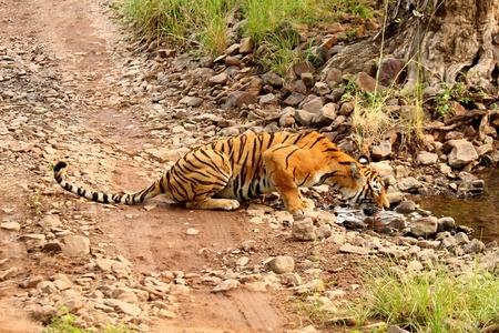 Bengall Tiger, R