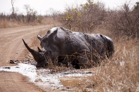 Rhino in the mud, Kruger Park, South Africa