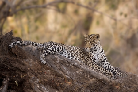 Leopard in Mashatu Game Reserve, Botswana, Africa Stock Photo