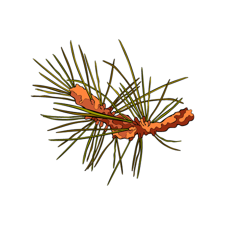 twigs: Spruce twigs. Spruce needles. Isolated vector object on white background. Illustration