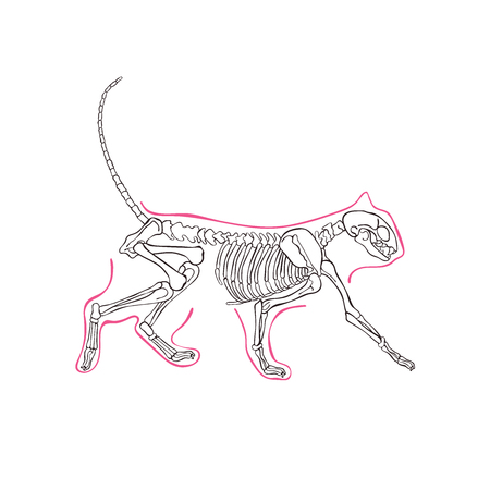 Cats skeleton. Isolated vector object on white background.