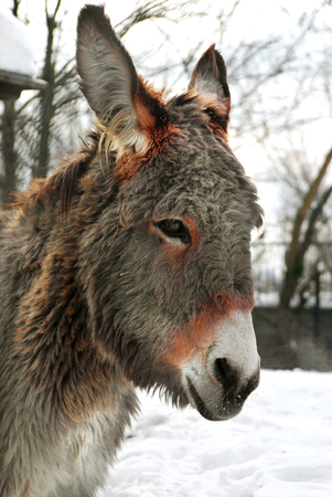 stubbornness: Donkey Stock Photo