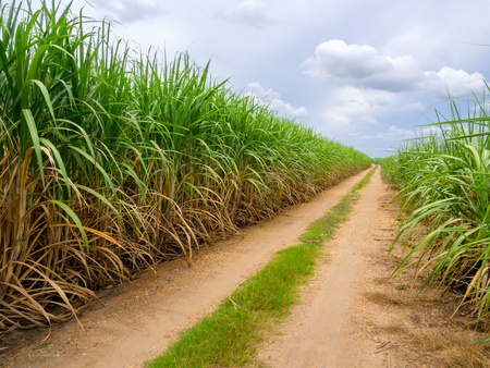 dust road in sugarcane firld Stock Photo