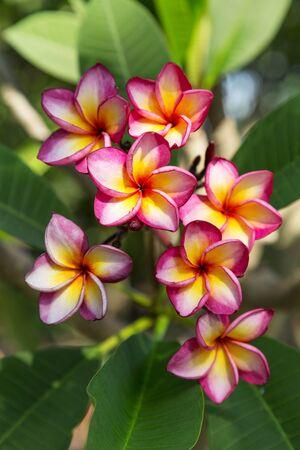 group of  white  pink and yellow plumeria flower
