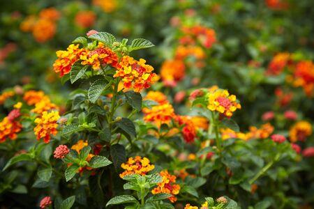lantana camara: Lantana camara flowers in garden.