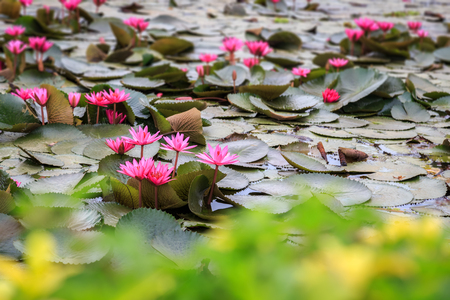 Pink water lily in the pond with green forground blurred, Stock Photo