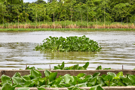 Group of water hyacinth floating in the river