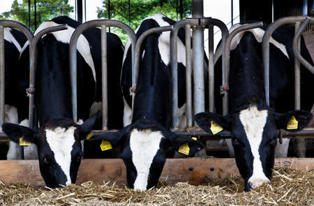 Dairy cows in a farm  photo