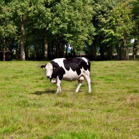 fresian: cow