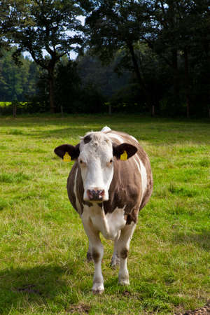 heffer: cow on meadow