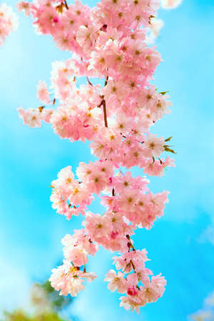 Sakura flowers blooming  Beautiful pink cherry blossom