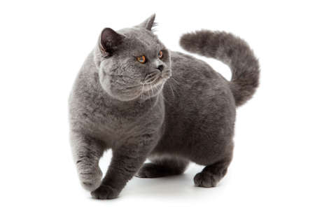British shorthair cat on a white background  british cat isolated photo