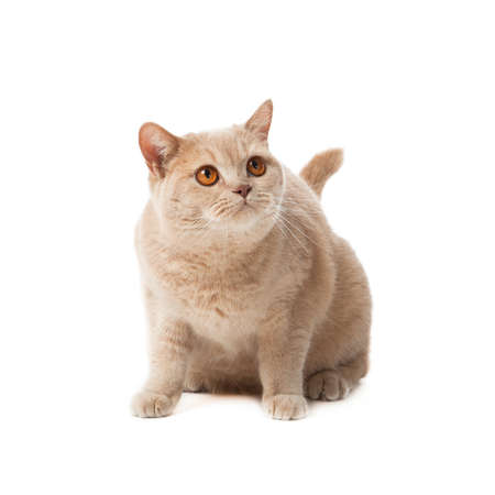 British shorthair cat on a white background   british cat isolated