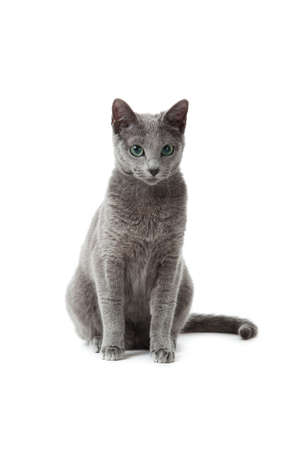 Russian Blue cat Stock Photo - 13198379