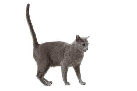 Russian Blue cat Stock Photo - 13198378