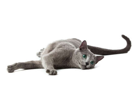bared teeth: Russian Blue cat