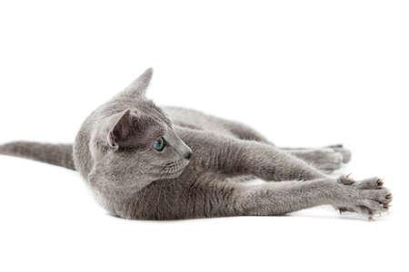 Russian Blue cat Stock Photo - 13198405