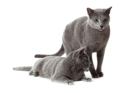 Russian Blue cat Stock Photo - 13198383