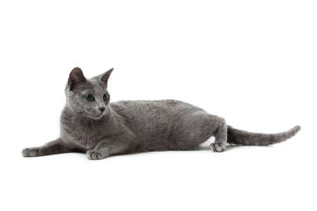 Russian Blue cat Stock Photo - 13243031