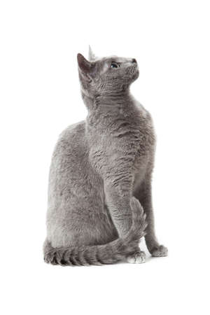 Russian Blue cat Stock Photo - 13243223