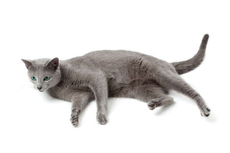Russian Blue cat Stock Photo - 13243201