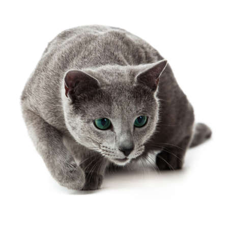 Russian Blue cat Stock Photo - 13243233