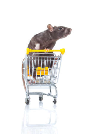 rat and the shopping cart  a rat with a basket Stock Photo - 13333894