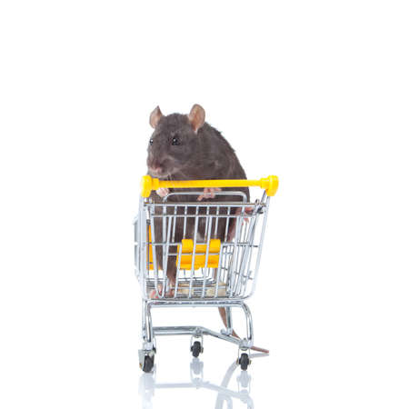 rat and the shopping cart  a rat with a basket photo