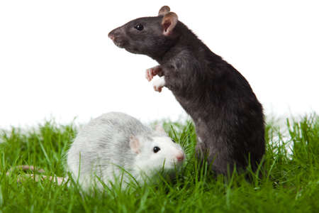 two rats on the grass  isolated in white  rat in green grass close up photo