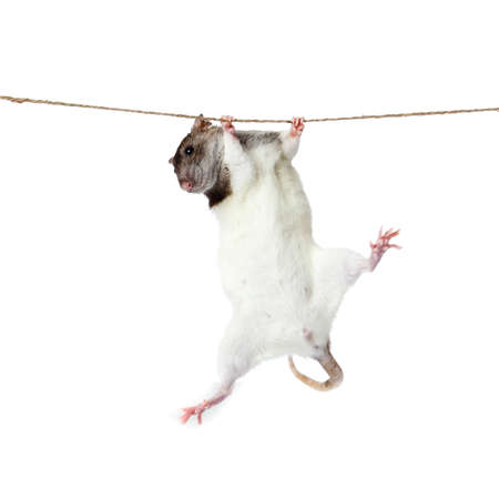a rat crawling on a rope  rat clutching at rope on white background Stock Photo - 13333892