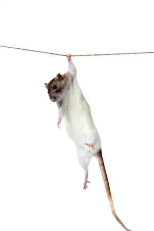 a rat crawling on a rope  rat clutching at rope on white background photo