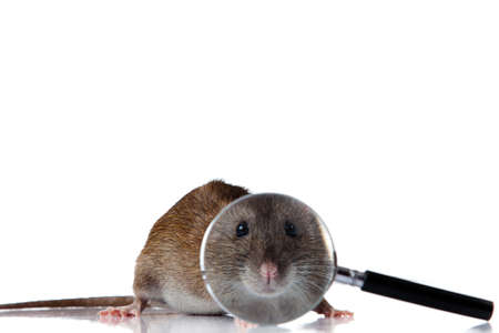 Rat looks through a magnifying glass  photo