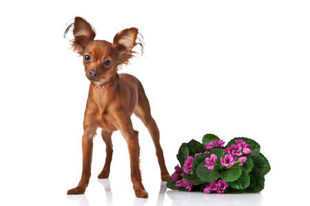 Toy terrier. Russian toy terrier  on a white background photo