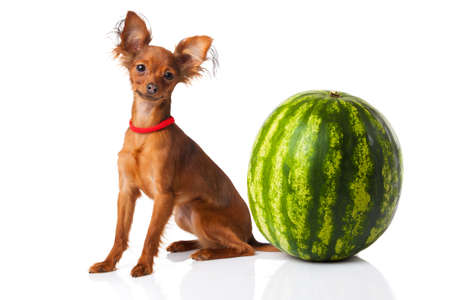russkiy: Toy terrier. Russian toy terrier  on a white background Stock Photo