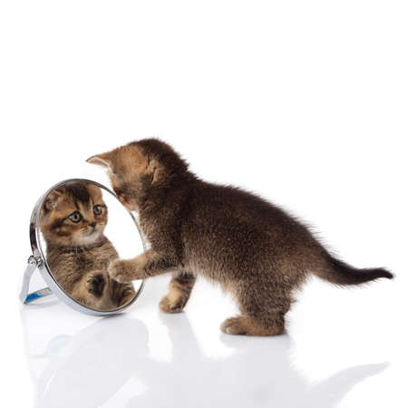 kitten with mirror on white background  kitten looks in a mirror  Stock Photo