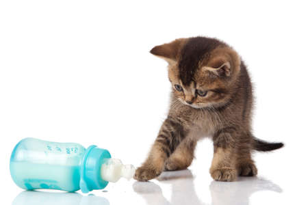 British Kitten and baby milk bottle on white background  photo