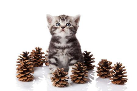 British kitten with pine cones on white. Stock Photo - 15189425