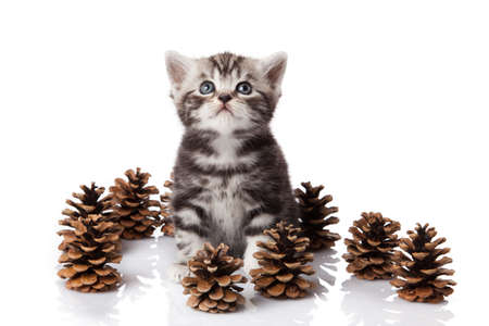 British kitten with pine cones on white. photo