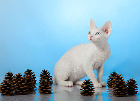 Devon Rex. Portrait on blue background Stock Photo - 15189451